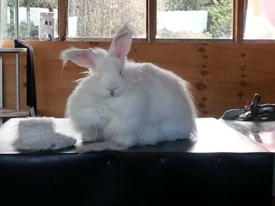 German Angora rabbit fibre  20g
