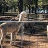 Tanglin Lodge Alpaca Farm - Public Day Tour.