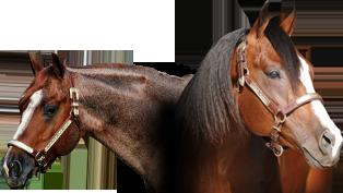 SDM Quarter Horses