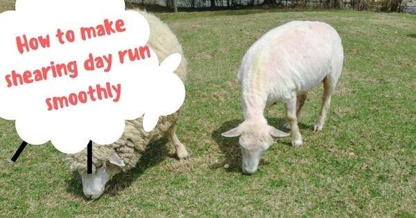 5 ways to make shearing day run smoothly