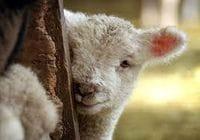 Lamb & Calf Care