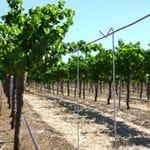 Vine training stakes