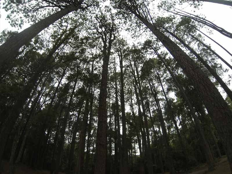 The Pines, Onley State Forest, South West of Newcastle