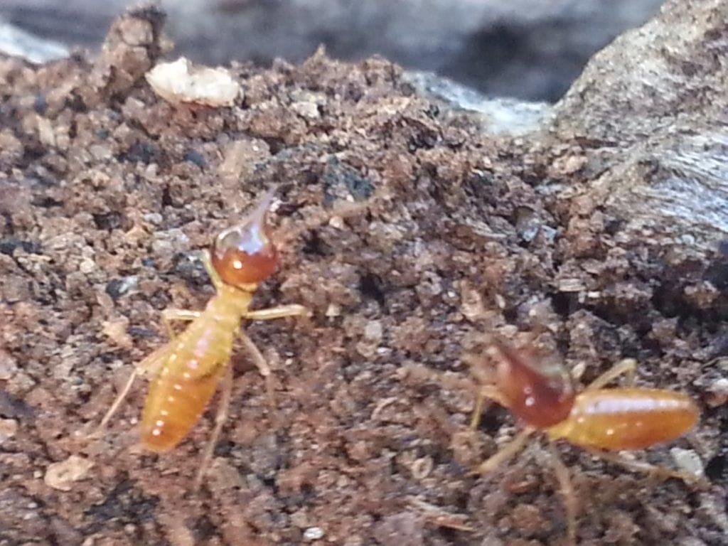 termites gold coast