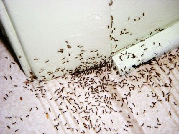 5 ways to get rid of ants naturally this spring