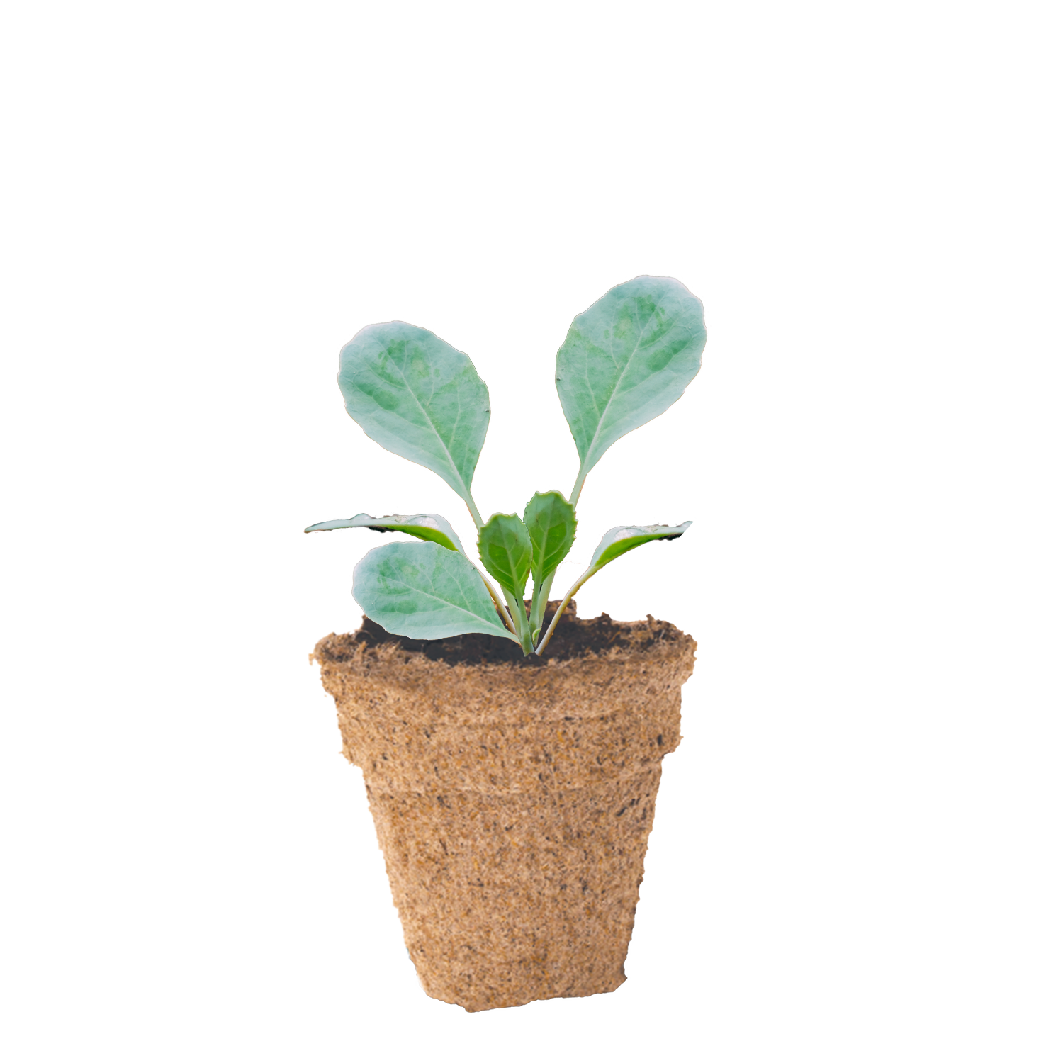 Cabbage seedling in small 45mm peat pot