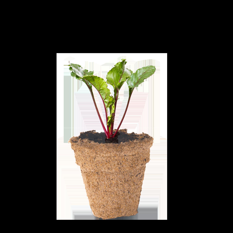 Beetroot seedling in biodegradable peat pot