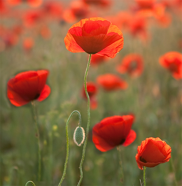 Red poppies are a symbol of remembrance during WW1 and for Aussies and Kiwis it is a symbol for the ANZAC day commemorations - to remember those who died in war or who still serve.