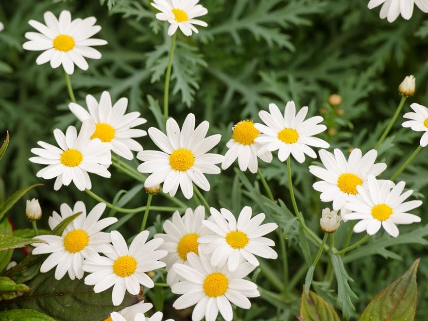 Sweetly scented alyssums are easy to grow and quick to flower