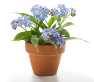 Blue forget me not flowers in a mini grow pot