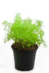 New dill herb plant in small grow pot