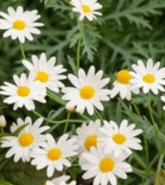 Delightful white daisies with sunny centres make a magnificent Summer display