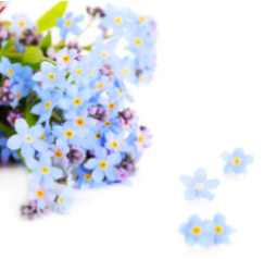 Forget me not blue flower appear in Spring reseeding easily to continue their natural beauty