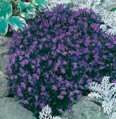Compact lobelia plants carry lots of iridescent blue flowers throughout Spring