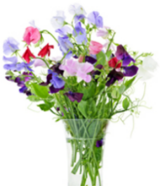 The nostalgic fragrance of sweet peas takes you back to granny's garden