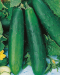 An excellent cucumber crisp juicy and full of flavour.