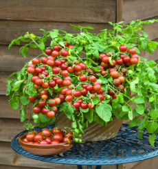 You only have a small garden space you can still grow your own tasty tomatoes in a pot