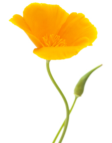 Bright and bouncy poppies are fuss free and grow easily along fence lines and other challenging garden spaces.