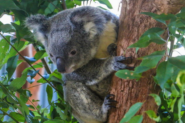 Koala Photo Credit Ryan Wheway