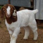 Pacifica Boer Goats