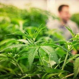CANNABIS COMPANY SECURES PERMITS FOR NEW PLANTS TO BEGIN CULTIVATION