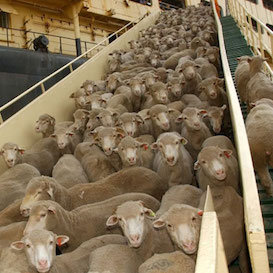 "Littleproud's call dubbed ""lily-livered"" as live exports continue through hot Middle Eastern summer"
