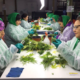 AusCann joint venture completes second cannabis harvest in Chile