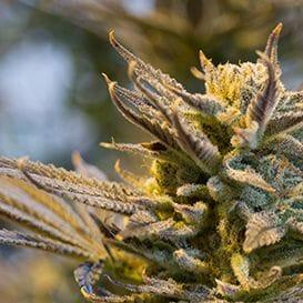 Cannabis companies hit new high with fresh capital