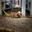 """Bullshit"": despite suspension, Emanuel Exports continues with live export of sheep"