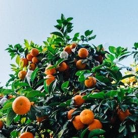 China falls head over heels in love for South Australian oranges