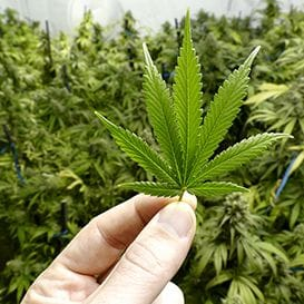 New medicinal cannabis released