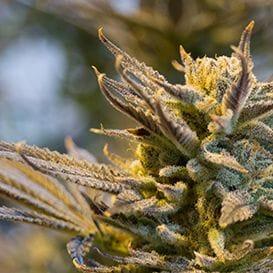 Zelda reaches cannabis spray deal with SUDA
