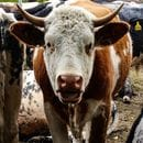 Australian Ag Co estimates damages, cattle loss from floods