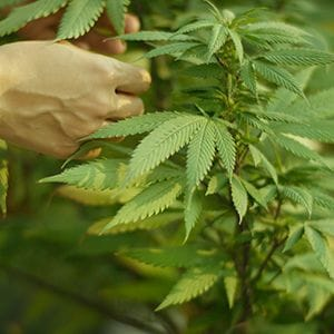 Zelda strikes up partnership to break into US medicinal cannabis market