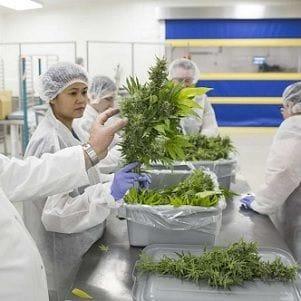 Australia the world's fastest-growing medicinal cannabis market