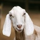 Bubs goats for gold with fresh Alibaba deal