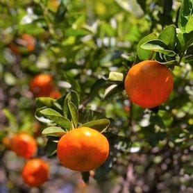 "Growers welcome visa extensions to prevent ""fruit rotting on trees"" during pandemic"