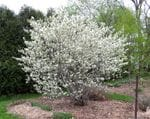 Juneberry, Serviceberry, Shadblow