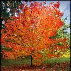 Crescendo Sugar Maple