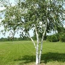 Whitespire Birch