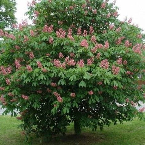 Fort McNair Horse Chestnut