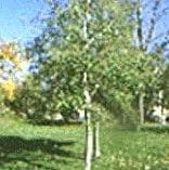 White or Speckled Alder