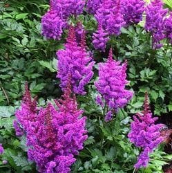 Astilbe 'Visions'