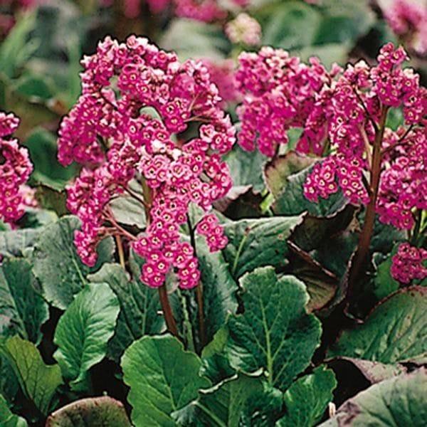 Heart-leaf Saxifrage
