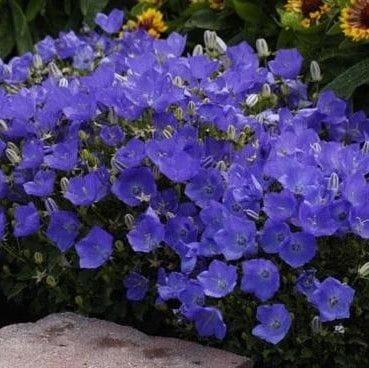 Bellflower 'Blue Clips'