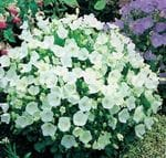 Bellflower 'White Clips'