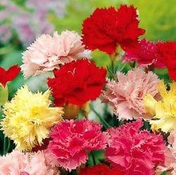 Casyophyllus Carnations