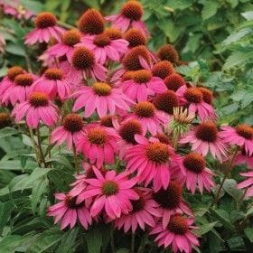 Coneflower 'Rubinstern' (Ruby Star)