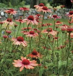 Coneflower 'Sundown'