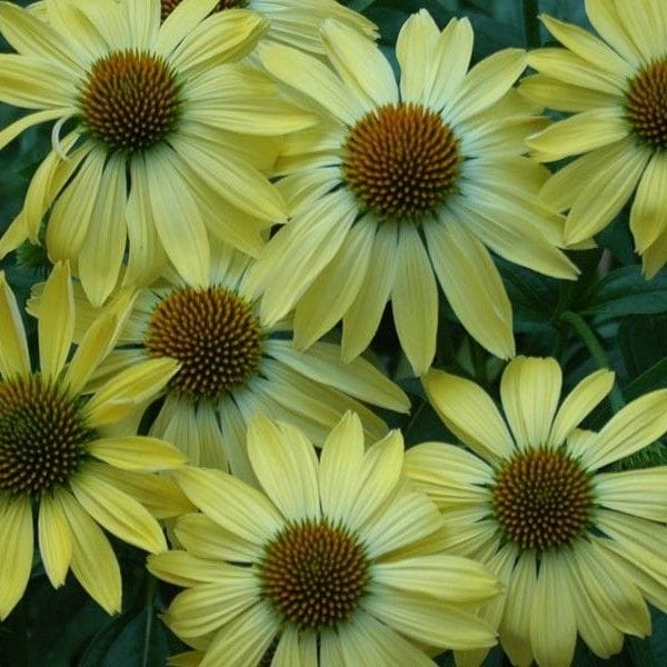 Coneflower 'Sunrise'
